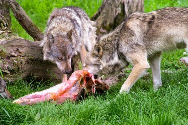 Rohfleisch vom Wild und Exoten